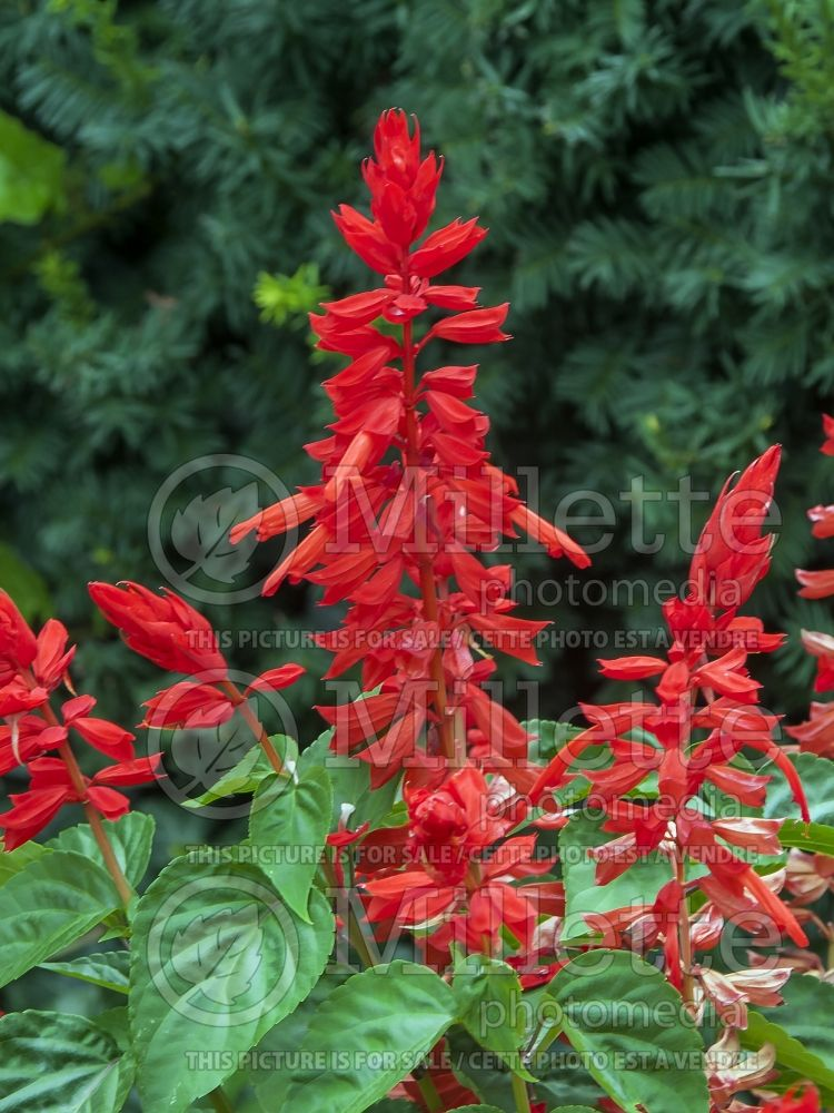 Salvia Lighthouse Red (Sage) 3