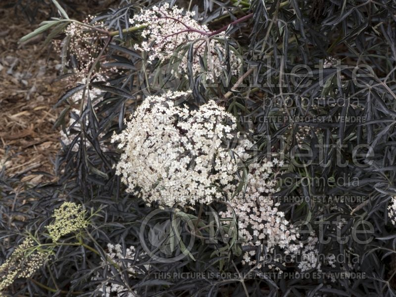 Sambucus Black Lace or Eva (Elderberry) 8