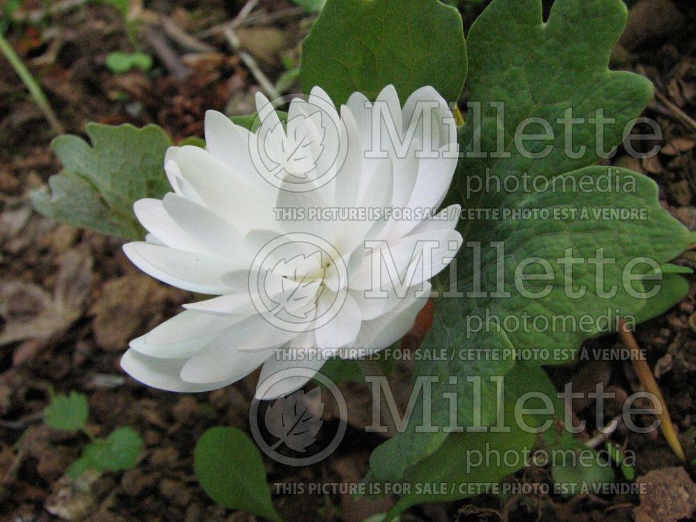 Sanguinaria Plena (Bloodroot) 1