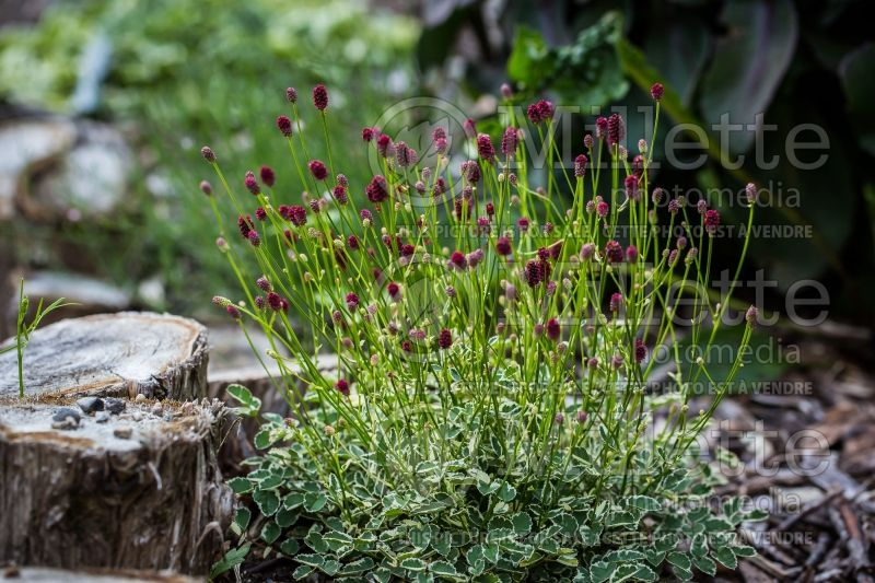 Sanguisorba Little Angel (Burnet) 1