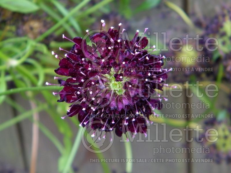 Scabiosa Black  (Pincushion) 1