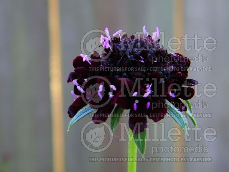 Scabiosa Black (Pincushion) 2