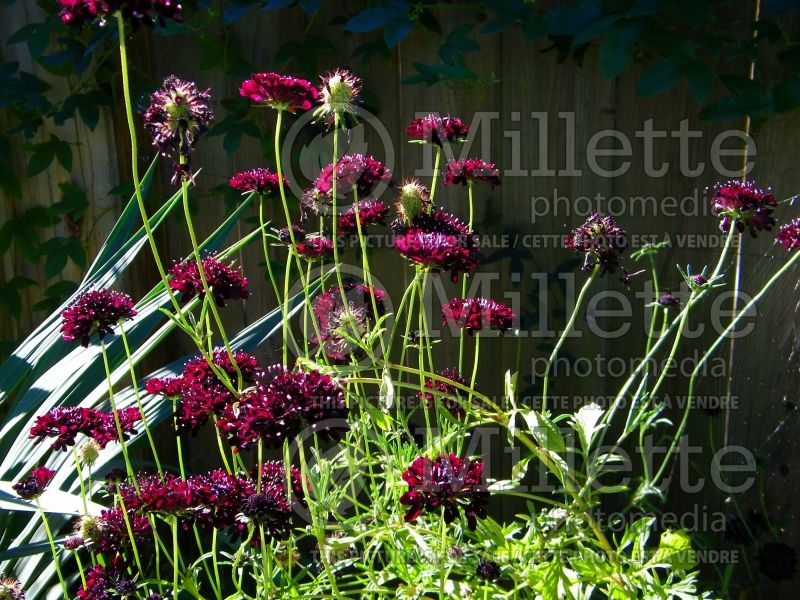 Scabiosa Black (Pincushion) 4