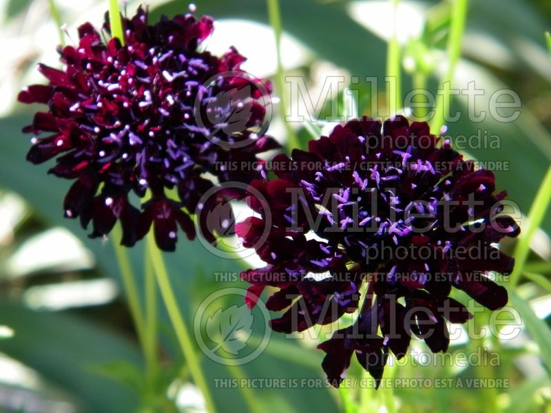Scabiosa Black (Pincushion) 3