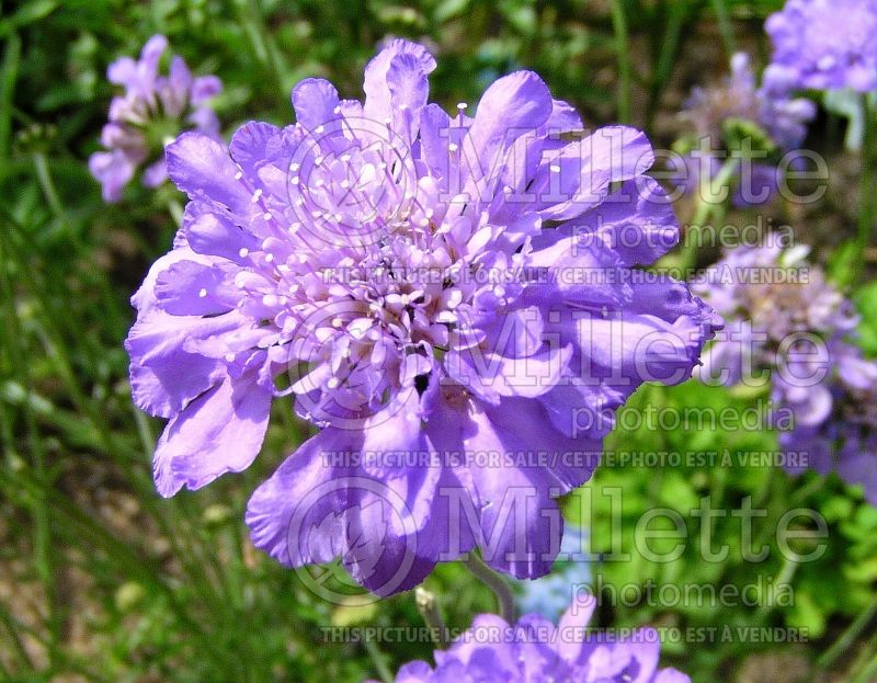 Scabiosa Butterfly Blue (Pincushion) 6