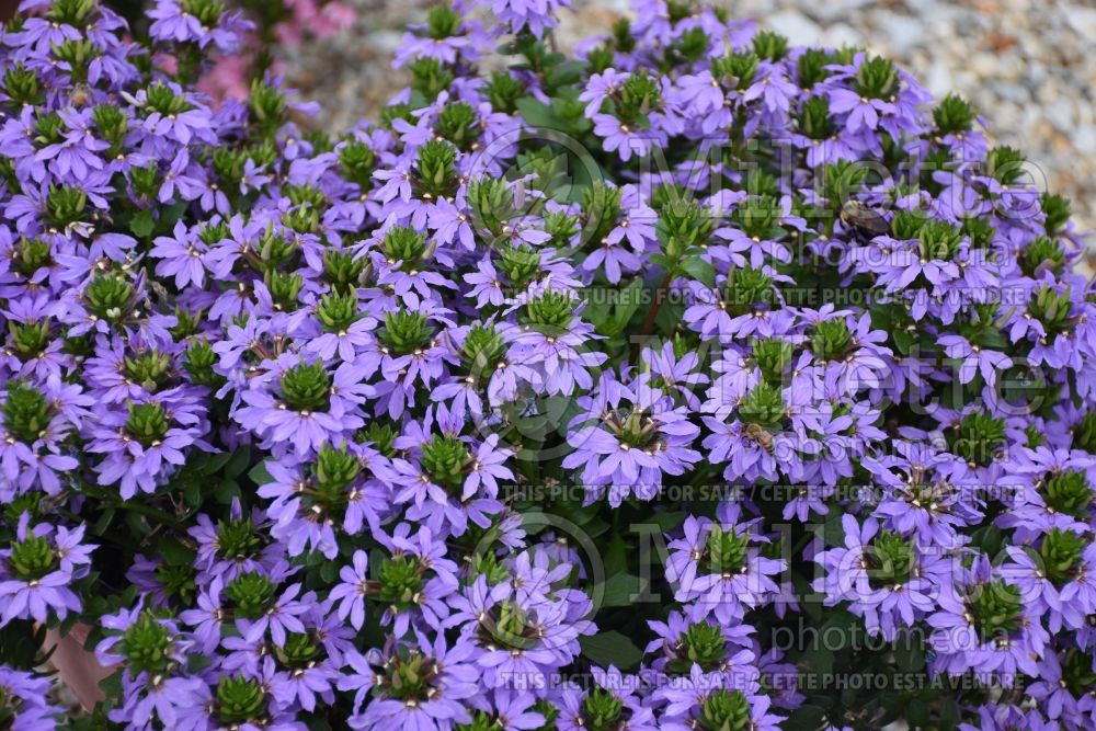Scaevola Blue Touch (Scaevola Fan Flower) 1