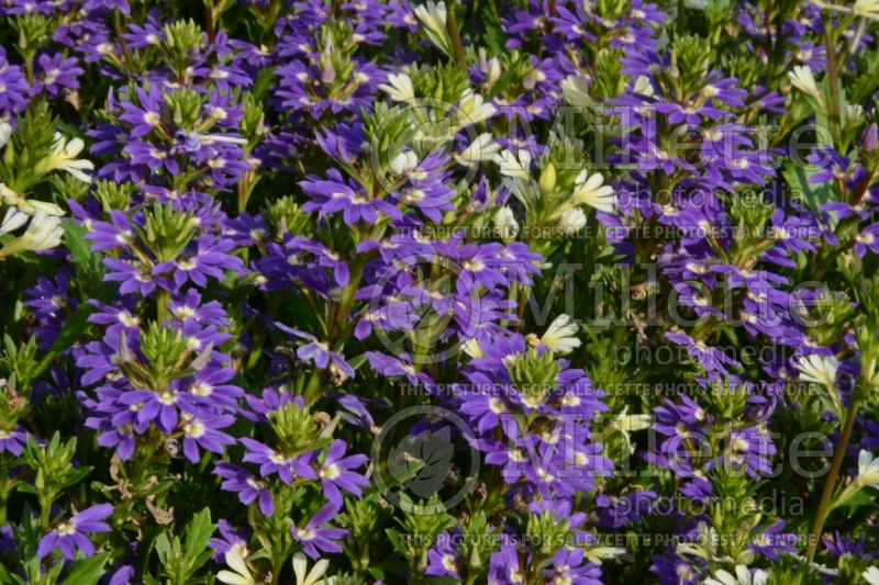 Scaevola Purple Haze (Scaevola Fan Flower) 1