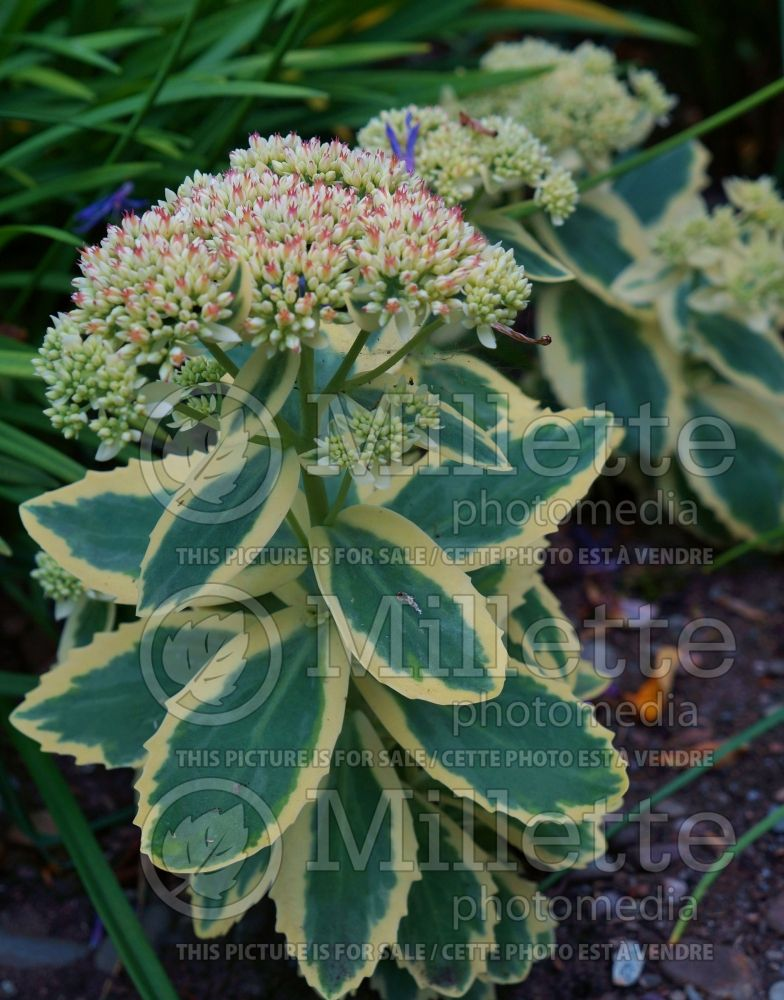 Sedum Frosted Fire (Orpin) 1