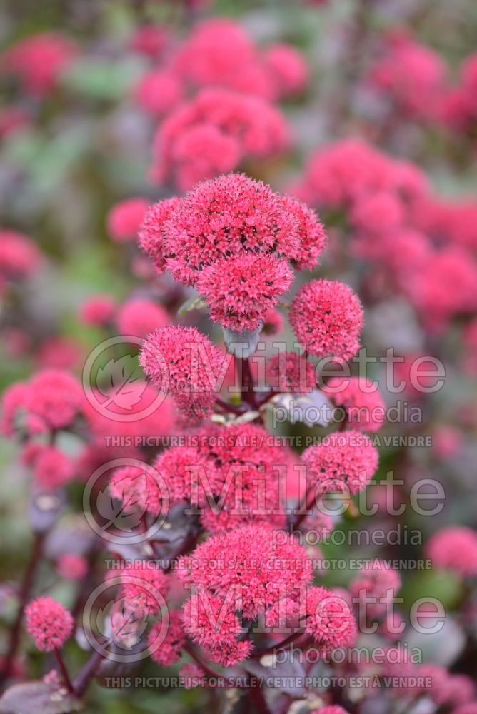 Sedum Marchants Best Red (Stonecrop) 1