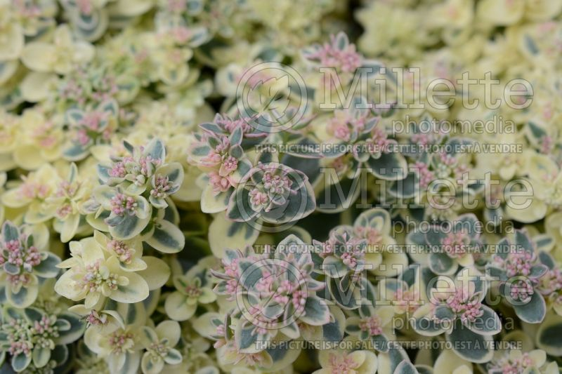 Sedum Sunsparkler Lime Twister (Stonecrop cactus) 1