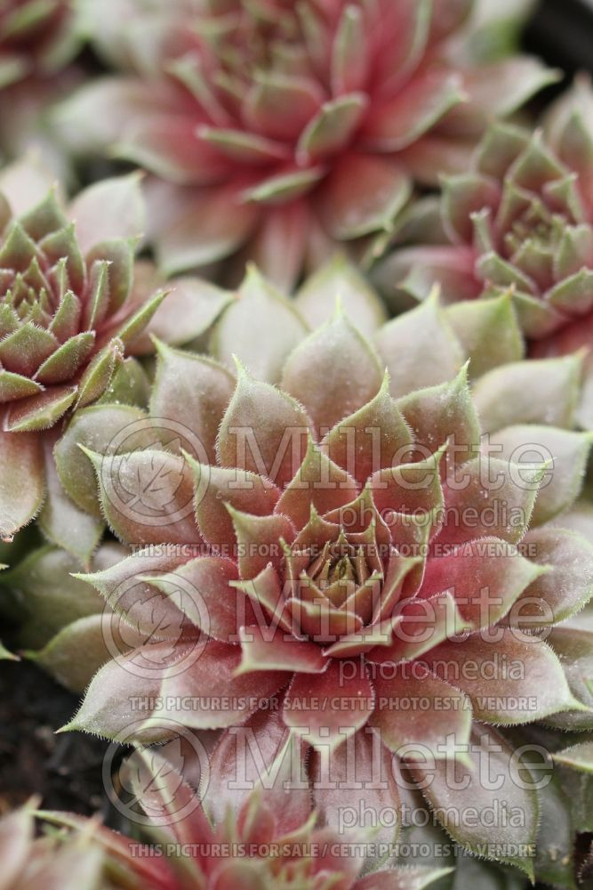 Sempervivum Aglow (Houseleeks Hen and Chicks) 1