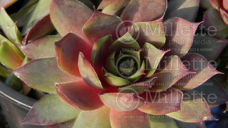 Sempervivum Blue Boy (Houseleeks Hen and Chicks) 1
