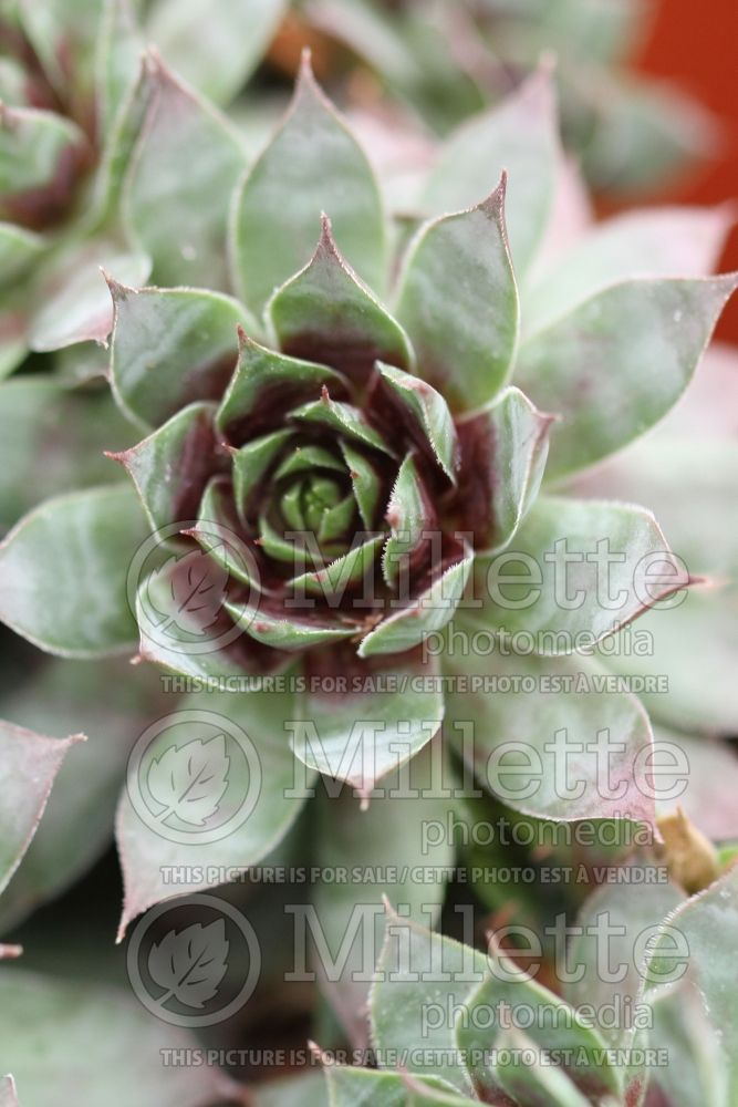 Sempervivum Chick Charms Cranberry Cocktail (Houseleeks Hen and Chicks) 1
