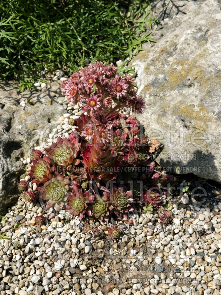 Sempervivum Glowing Embers (Cobweb Houseleek) 3
