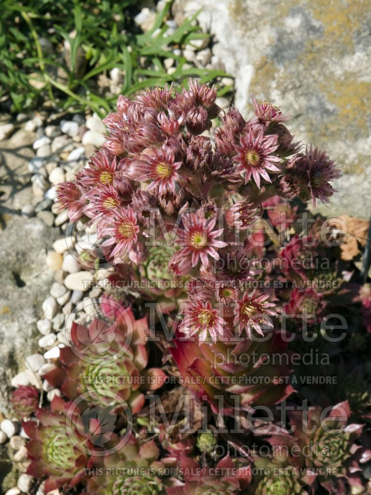 Sempervivum Glowing Embers (Cobweb Houseleek) 5