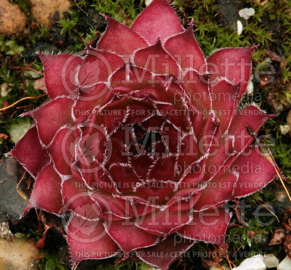 Sempervivum Glowing Embers (Cobweb Houseleek) 2