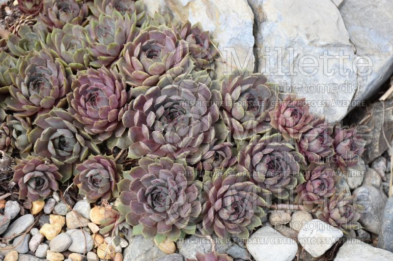 Sempervivum Pacific Blue Ice (Houseleeks Hen and Chicks) 6