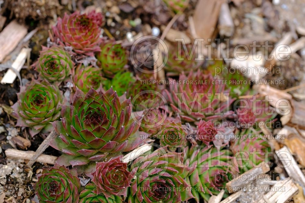 Sempervivum Sunset (Houseleeks Hen and Chicks) 4