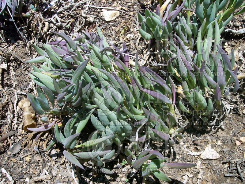 Senecio mandraliscae (blue finger, blue chalk sticks) 2