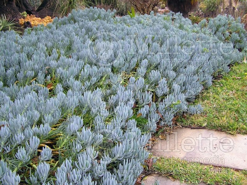 Senecio mandraliscae (blue finger, blue chalk sticks) 1