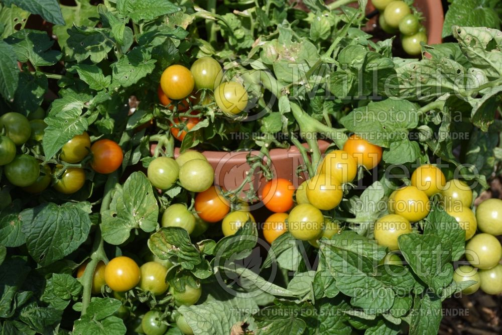 Solanum Little Bing (Tomato) 1