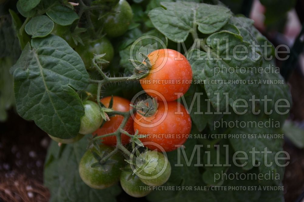 Solanum Little Birdy Red Robin (Tomato) 1