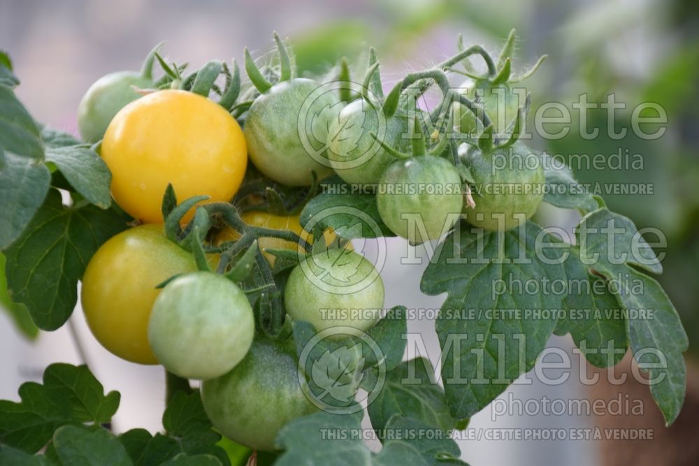 Solanum Little Birdy Yellow Canary (Tomato) 1