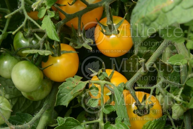 Solanum Patio Choice Yellow (Tomato) 1