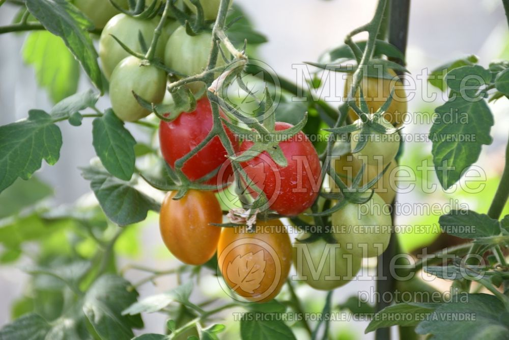 Solanum Ruby Crush (Tomato) 1