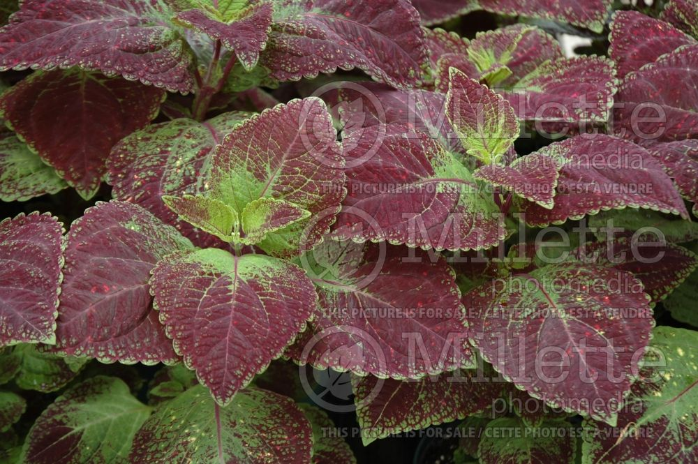 Solenostemon aka Coleus Solar Sunrise (Coleus, Painted Nettle) 1