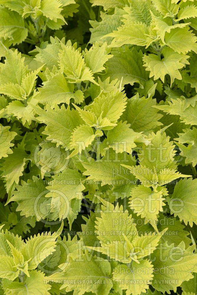 Solenostemon Wasabi (Coleus, Painted Nettle) 1