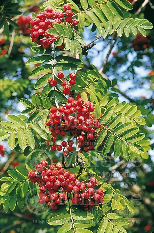 Sorbus Cardinal Royal (mountain ash) 1