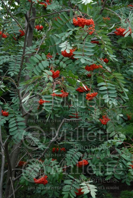 Sorbus decora (mountain ash) 2