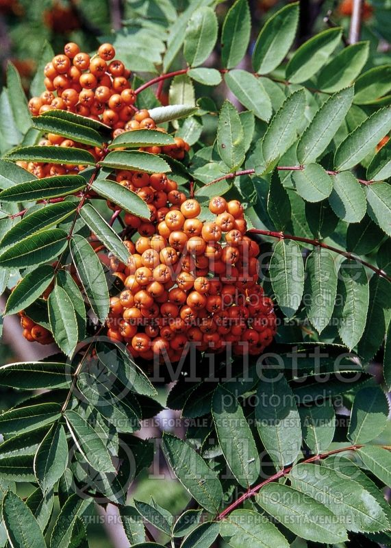 Sorbus decora (mountain ash) 3