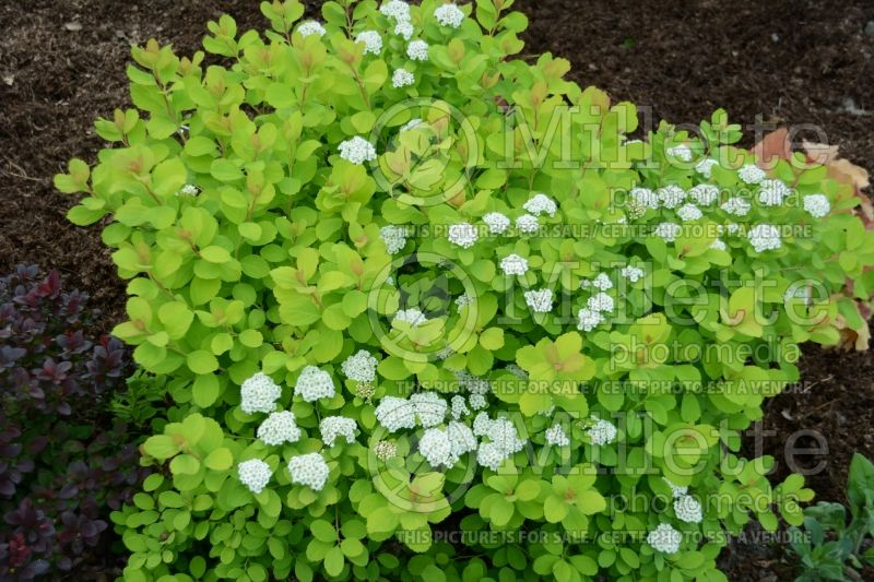 Spiraea Glow Girl or Tor Gold (Spirea) 4