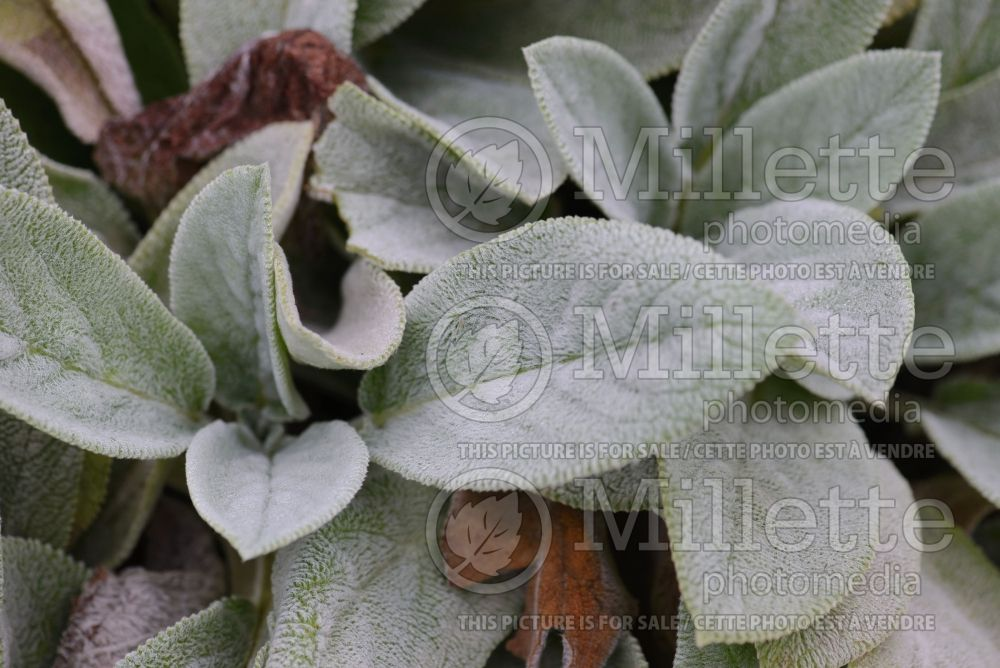 Stachys Big Ears (Alpine Betony Lamb's-Ears) 4