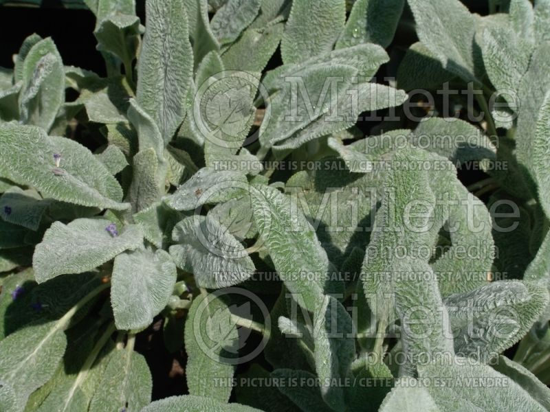 Stachys Silver Carpet (Alpine Betony Lamb's-Ears) 2