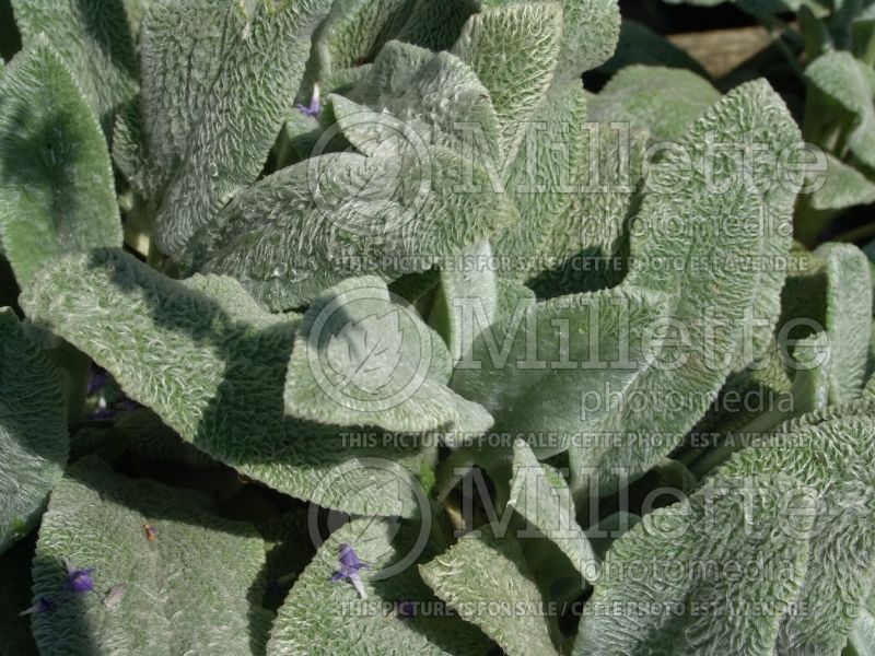 Stachys Silver Carpet (Alpine Betony Lamb's-Ears) 3