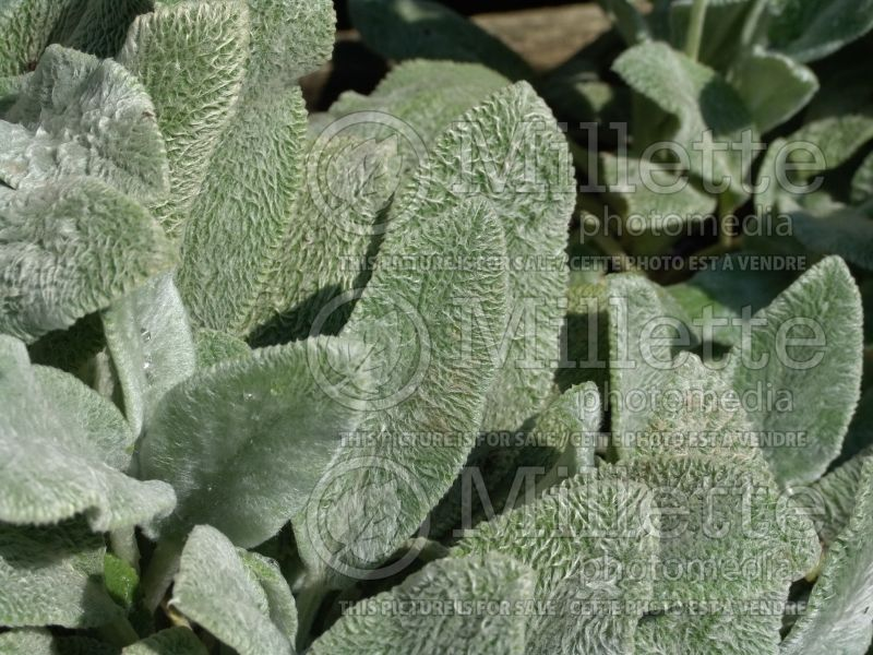 Stachys Silver Carpet (Alpine Betony Lamb's-Ears) 4
