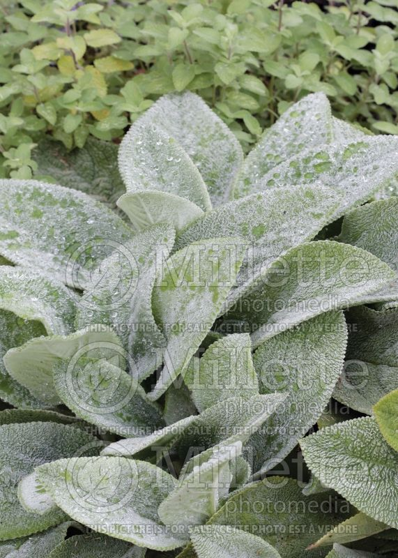 Stachys Silver Carpet (Alpine Betony Lamb's-Ears) 6