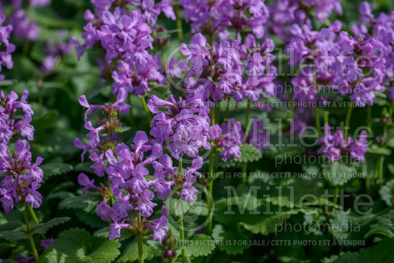 Stachys Superba (Alpine Betony Lamb's-Ears) 3