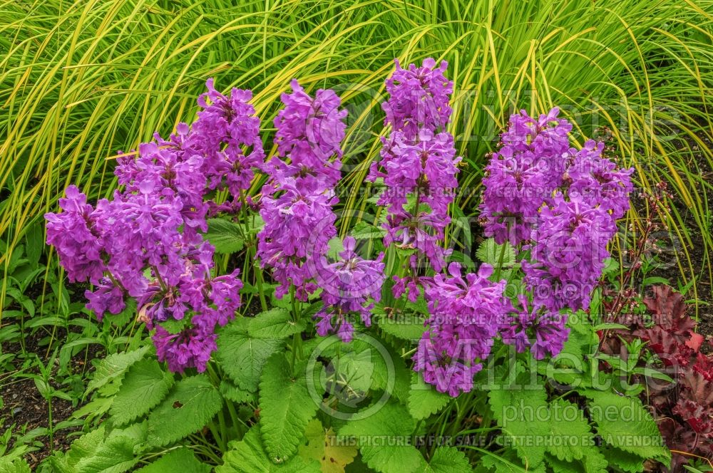 Stachys Superba (Alpine Betony Lamb's-Ears) 4