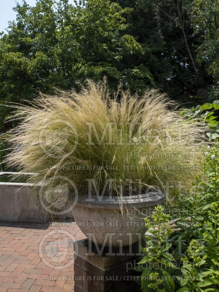 Stipa tenuissima (Mexican Feather Grass) 1