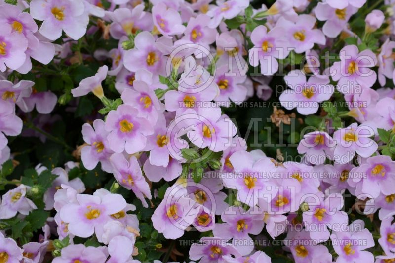 Sutera Calypso Jumbo Pink with Eye (Bacopa) 1