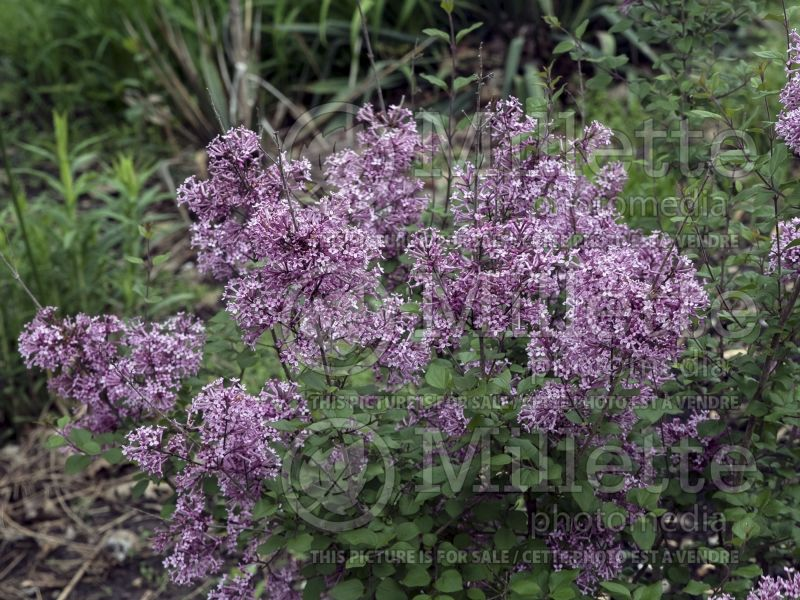 Syringa Bloomerang Purple (Lilac) 3