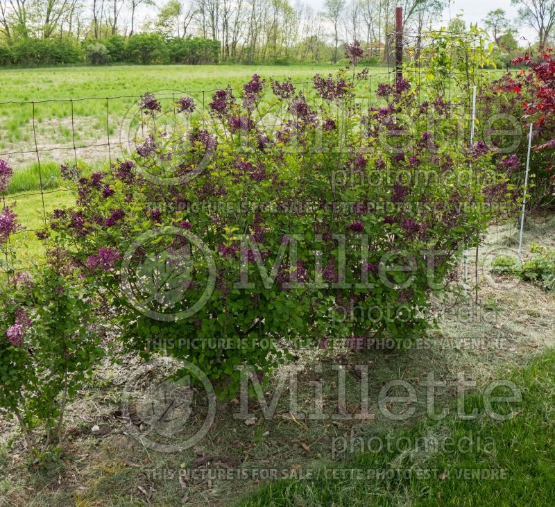 Syringa Bloomerang Purple (Lilac) 1