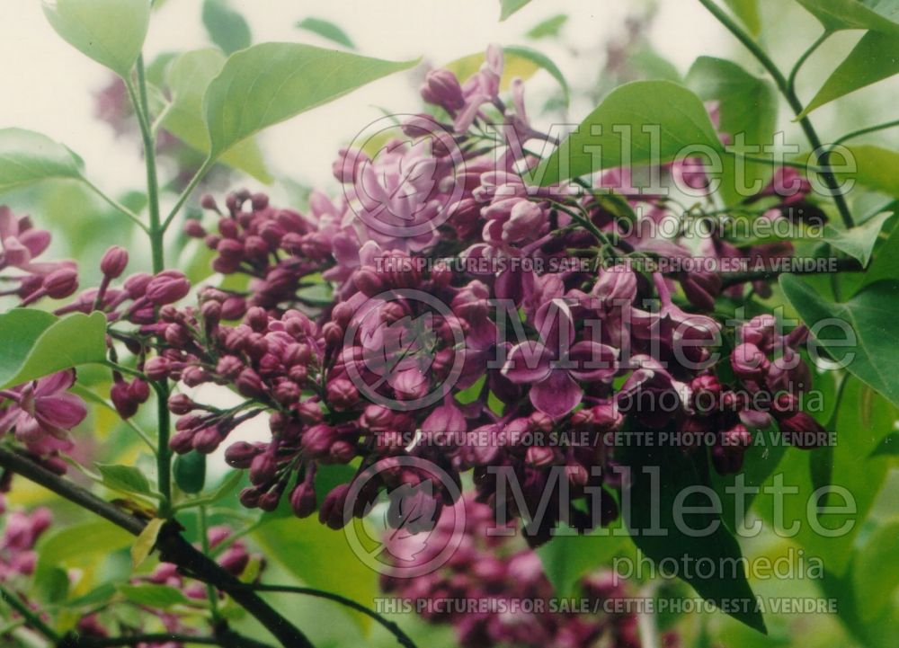 Syringa Purple Glory (Lilac) 1