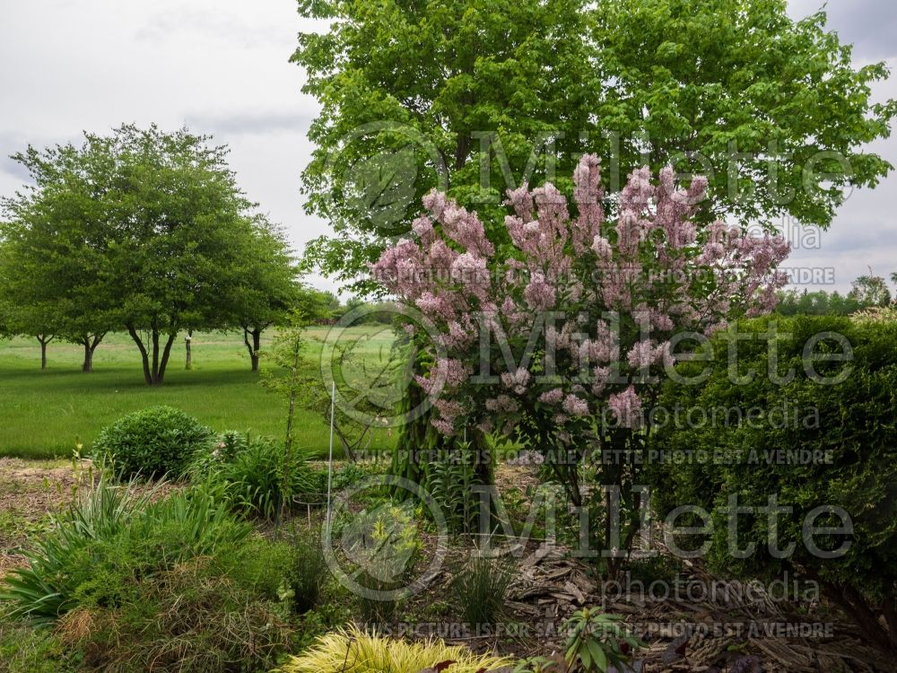 Syringa Miss Kim (Korean Lilac) 5