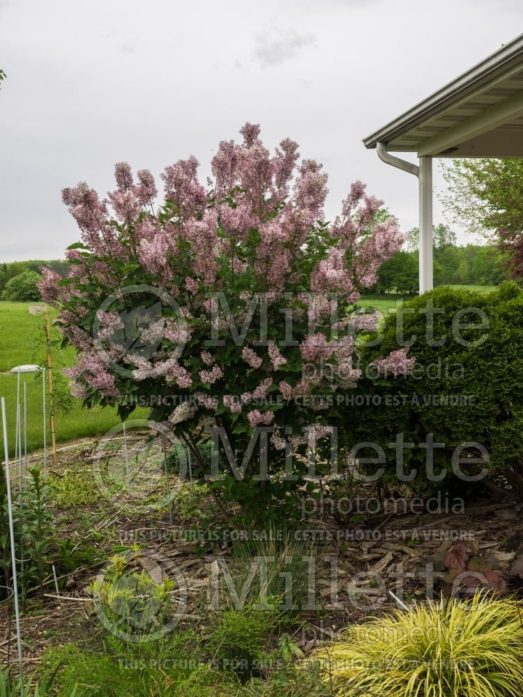 Syringa Miss Kim (Korean Lilac) 6