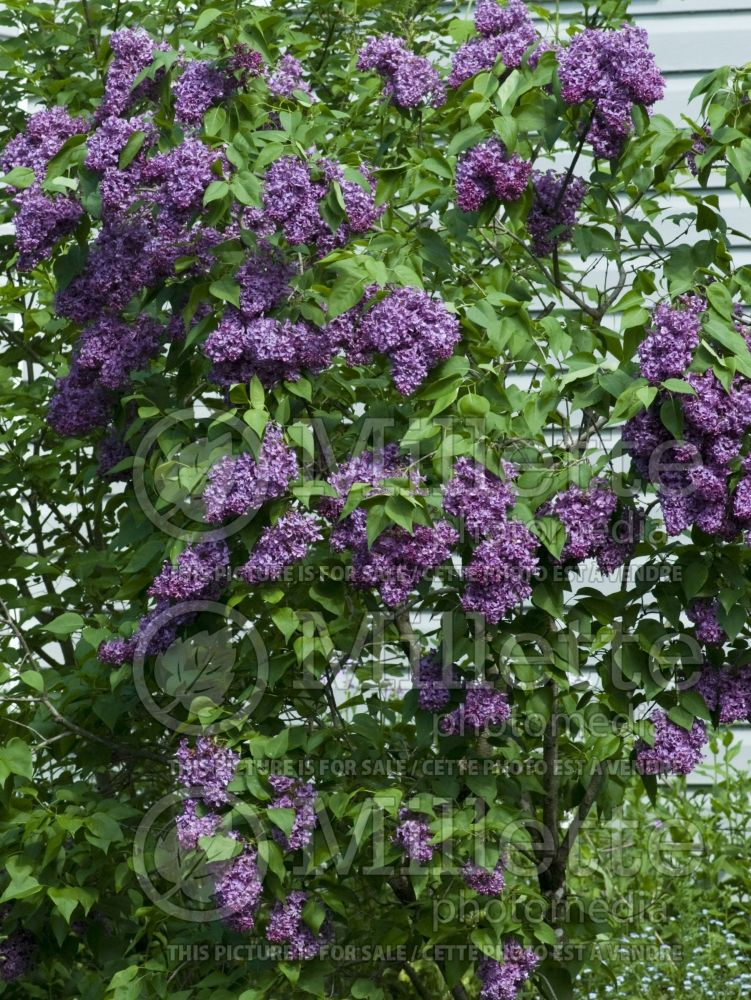 Syringa Burgundy Queen (Lilas) 3